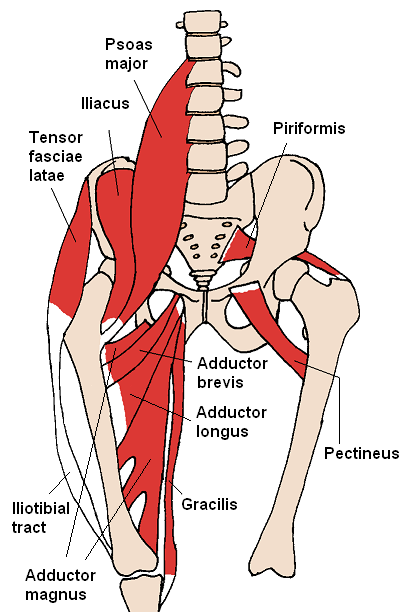 A diagram showing muscles in the hip and thigh, including a number of adductor muscles in the inner thigh.