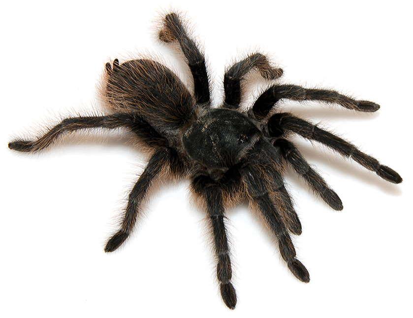 Aphonopelma catalina tarantula