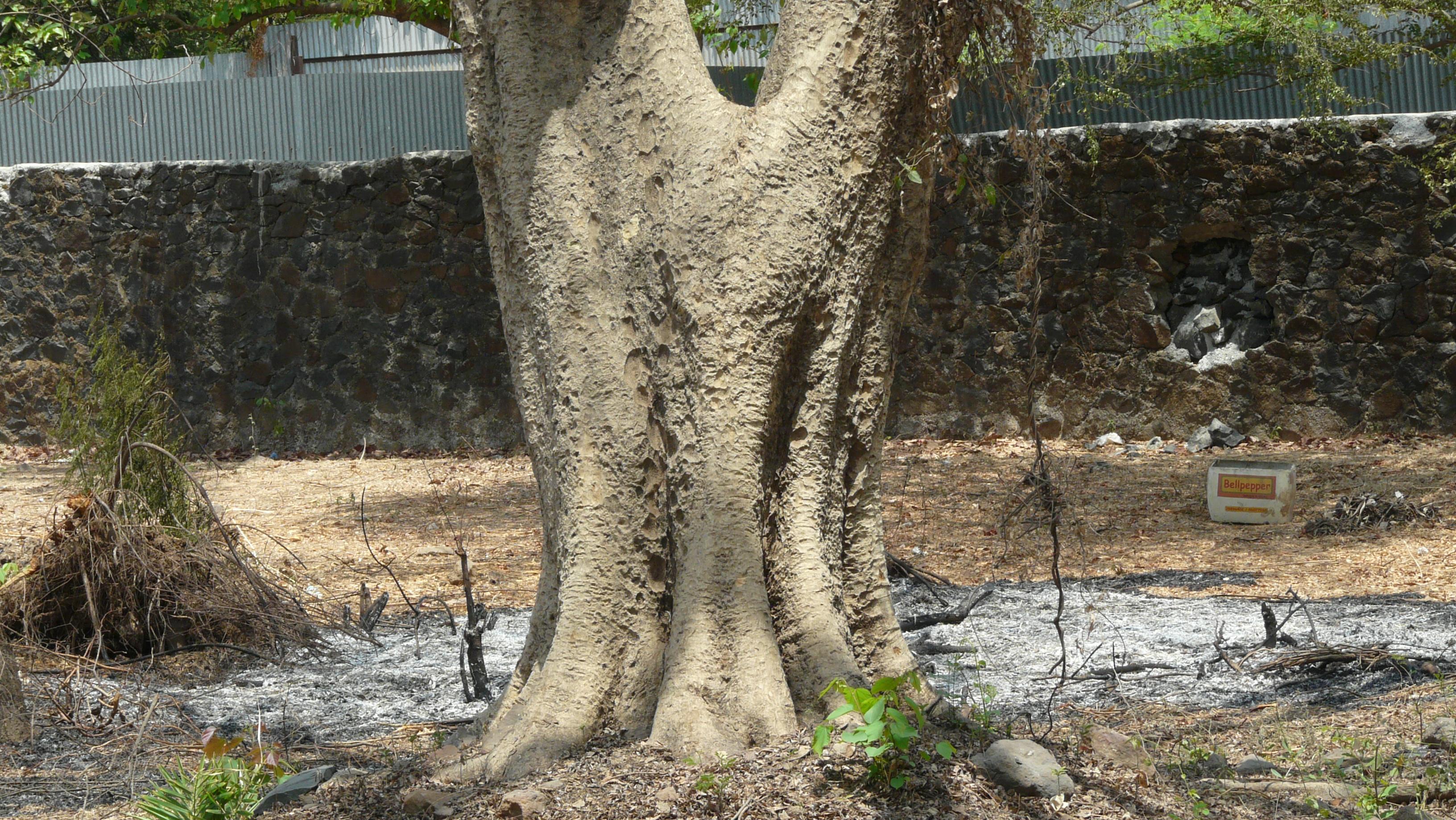 Rosewood tree in hindi. Rosewood tree Meaning in Hindi ...