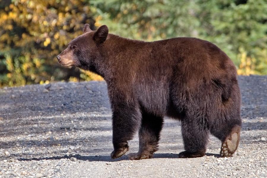 File:Black bear Quesnel Lake BC.jpg - Wikimedia Commons