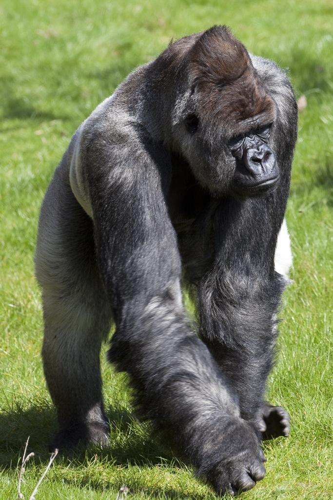 Affen steckbrief foto