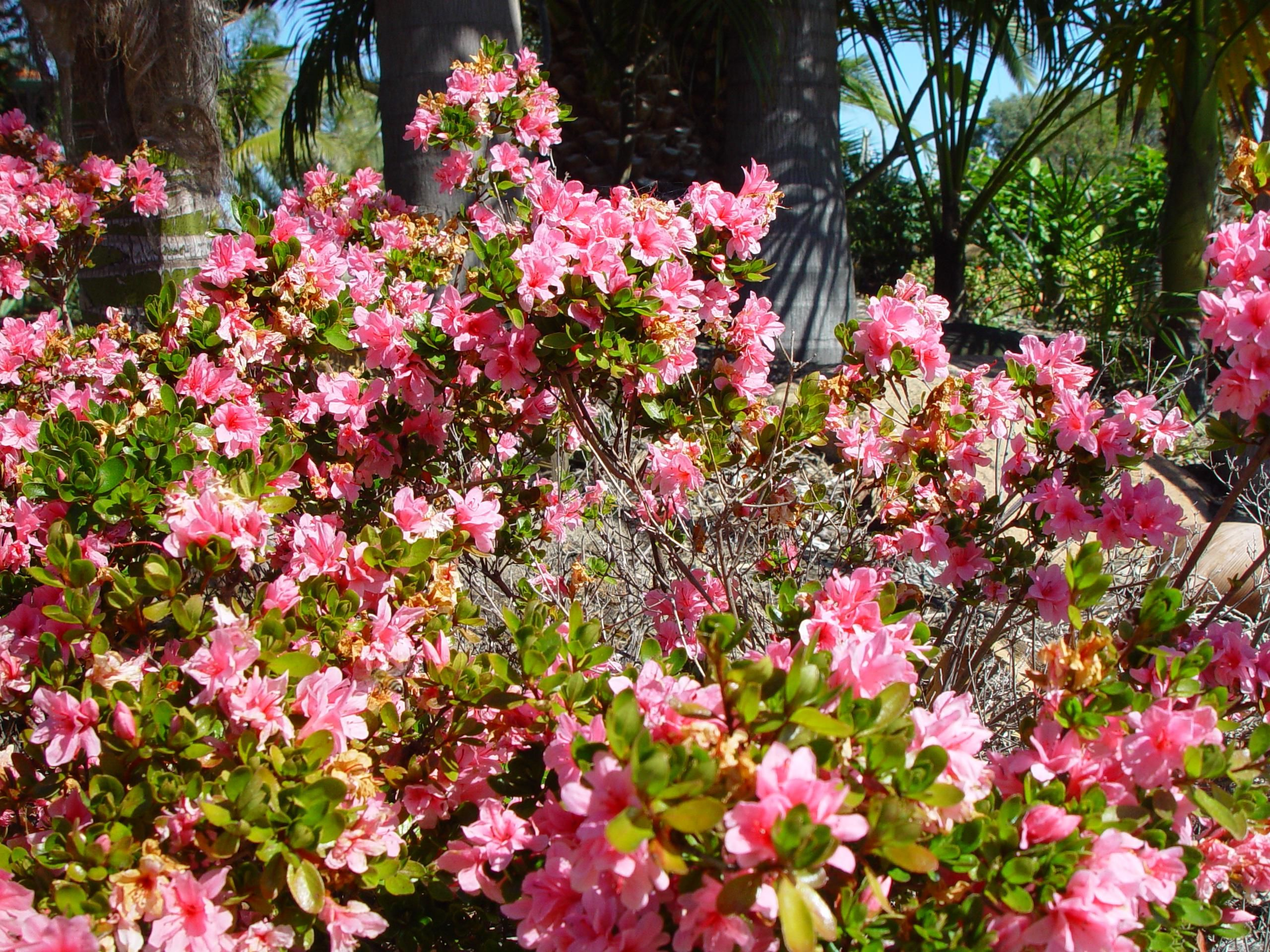 File bush with pink for Pink flowering shrubs