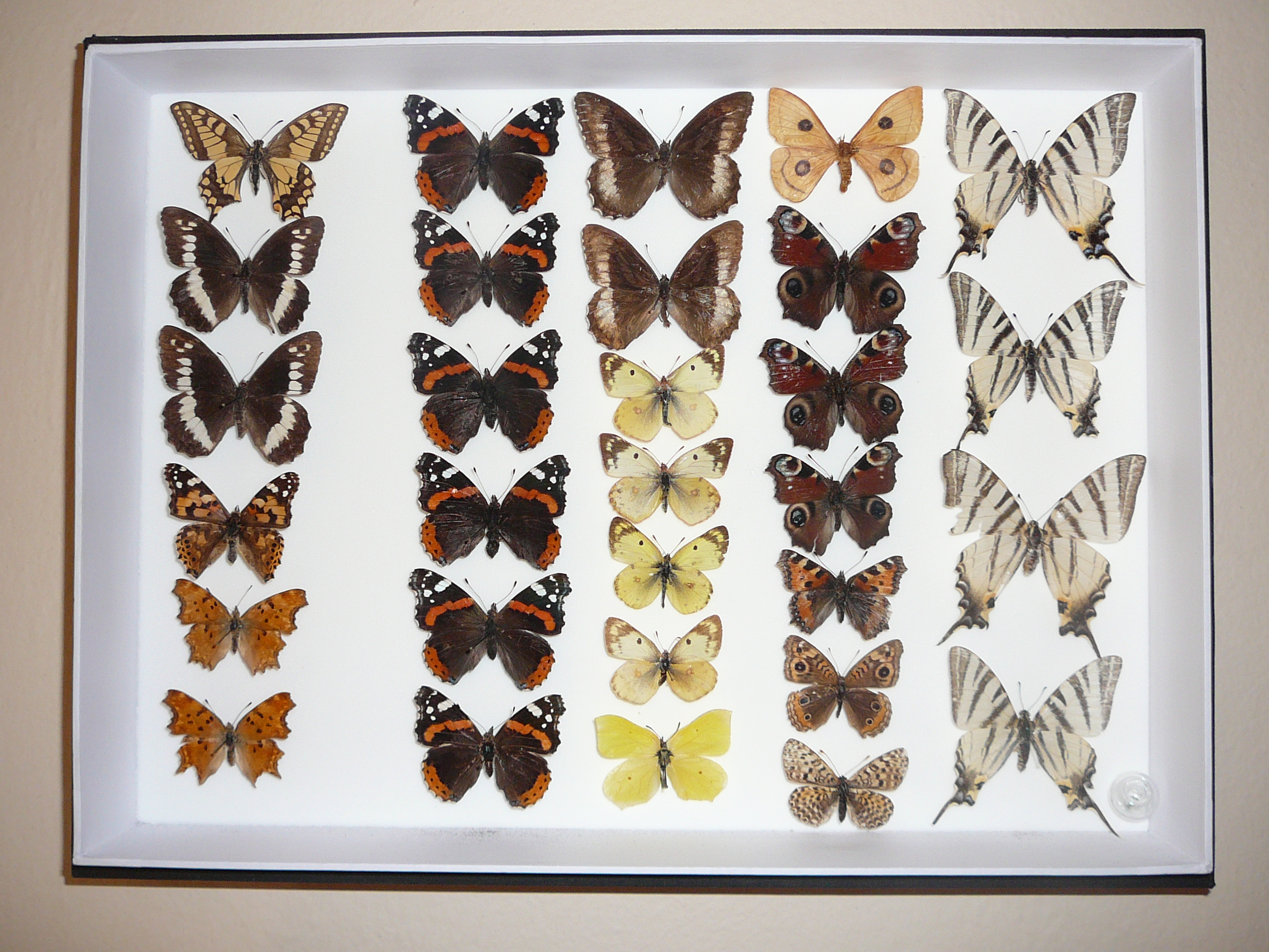 Description Butterfly collection.jpg
