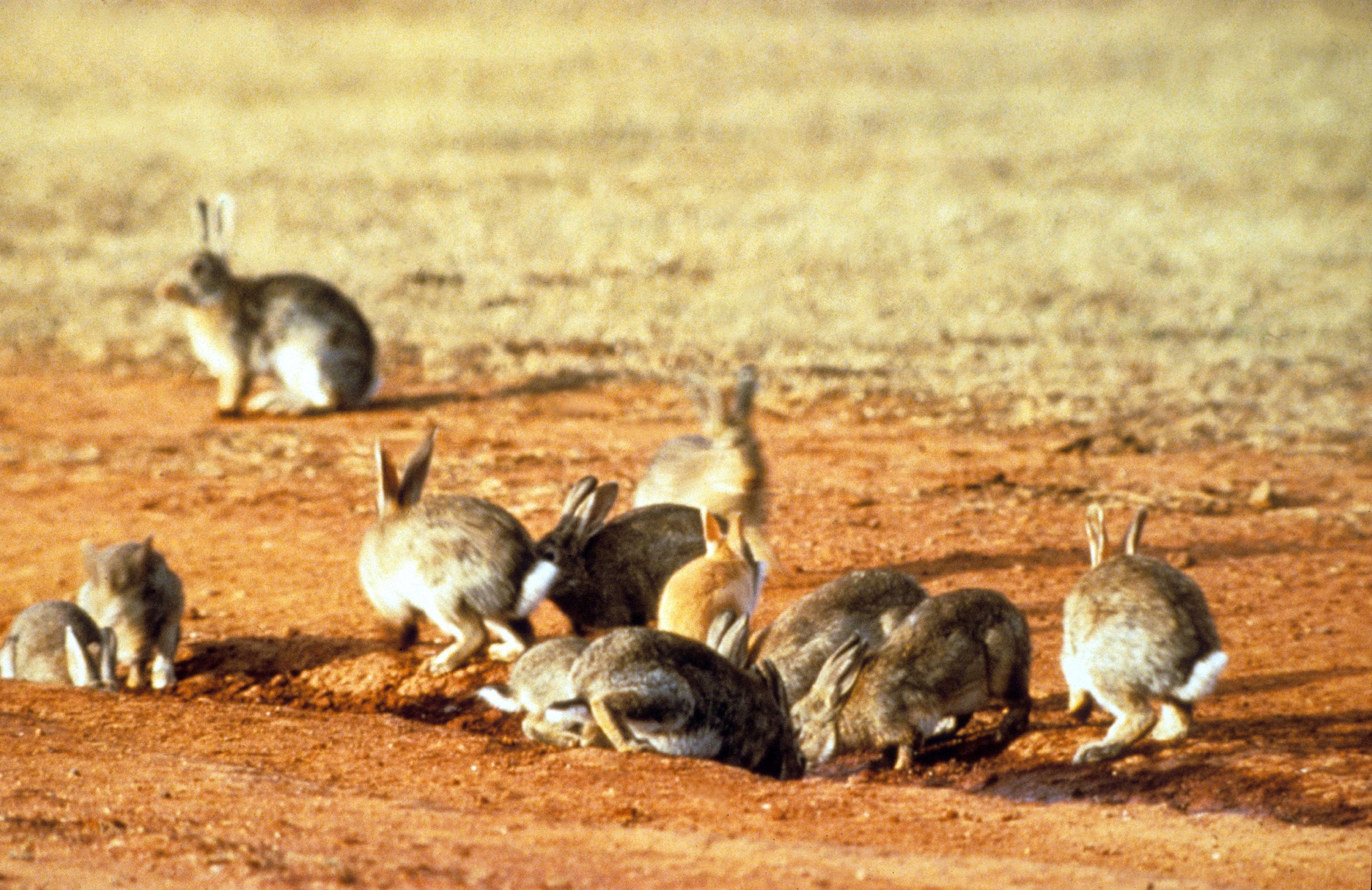 File:CSIRO ScienceImage 453 European Rabbits.jpg - Wikimedia Commons