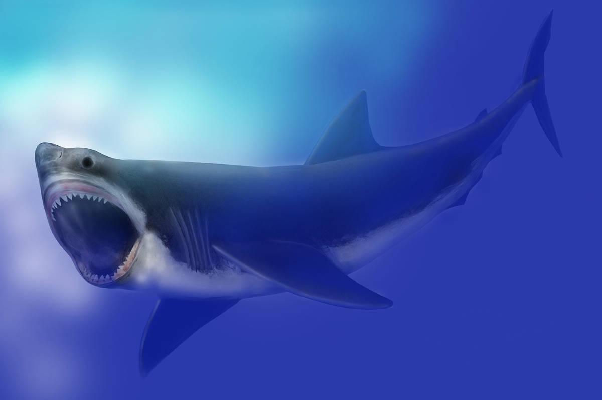File:Carcharodon megalodon SI.jpg - Wikipedia