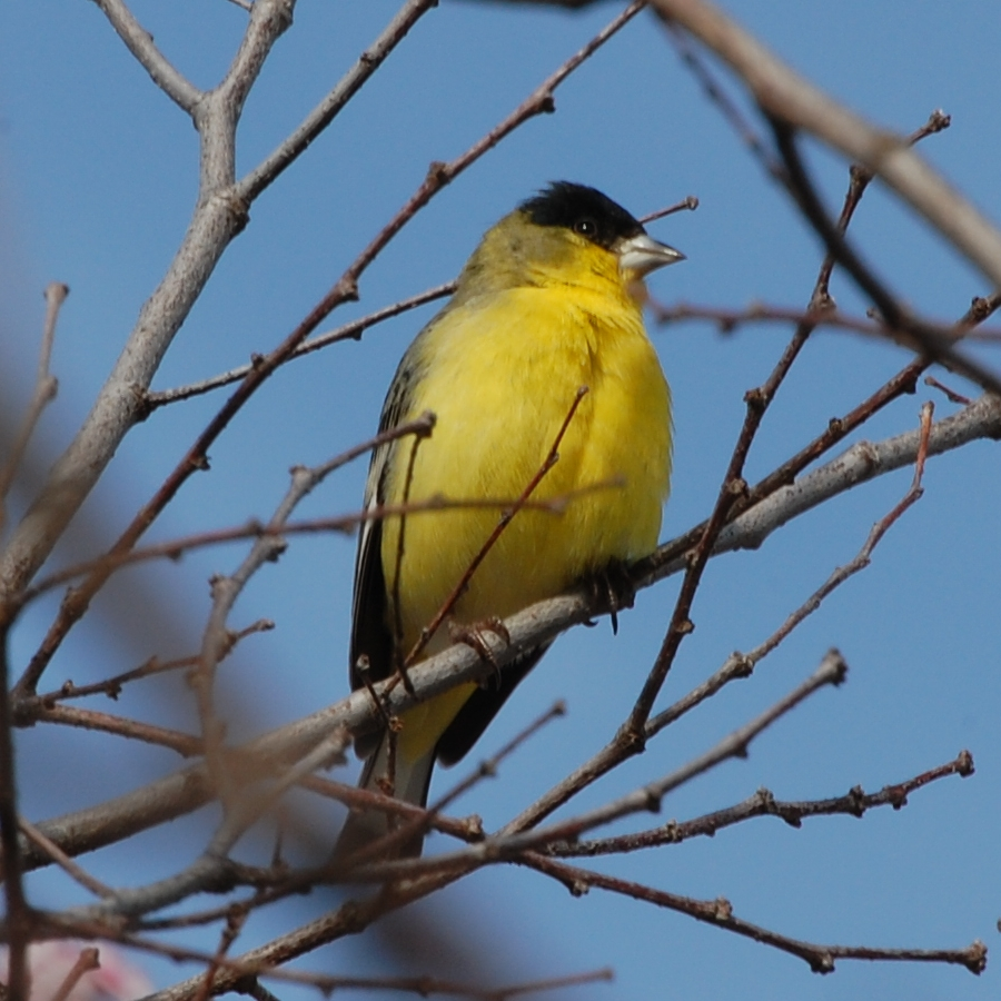 Lessert Goldfinch