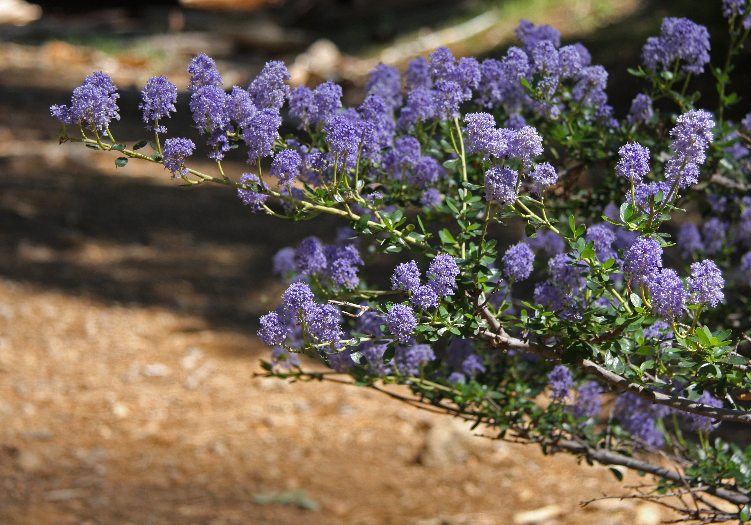 California gardening works best with native plants