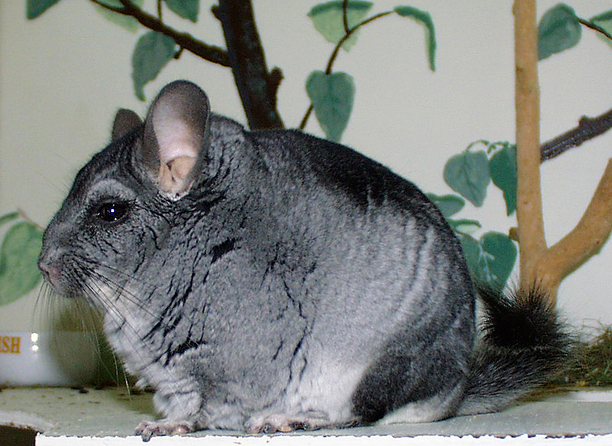 chinchilla mature personals Personals community create your own ad in earth pets it's easy and free pets categories healthy chinchilla who answers by the name princess muffin.