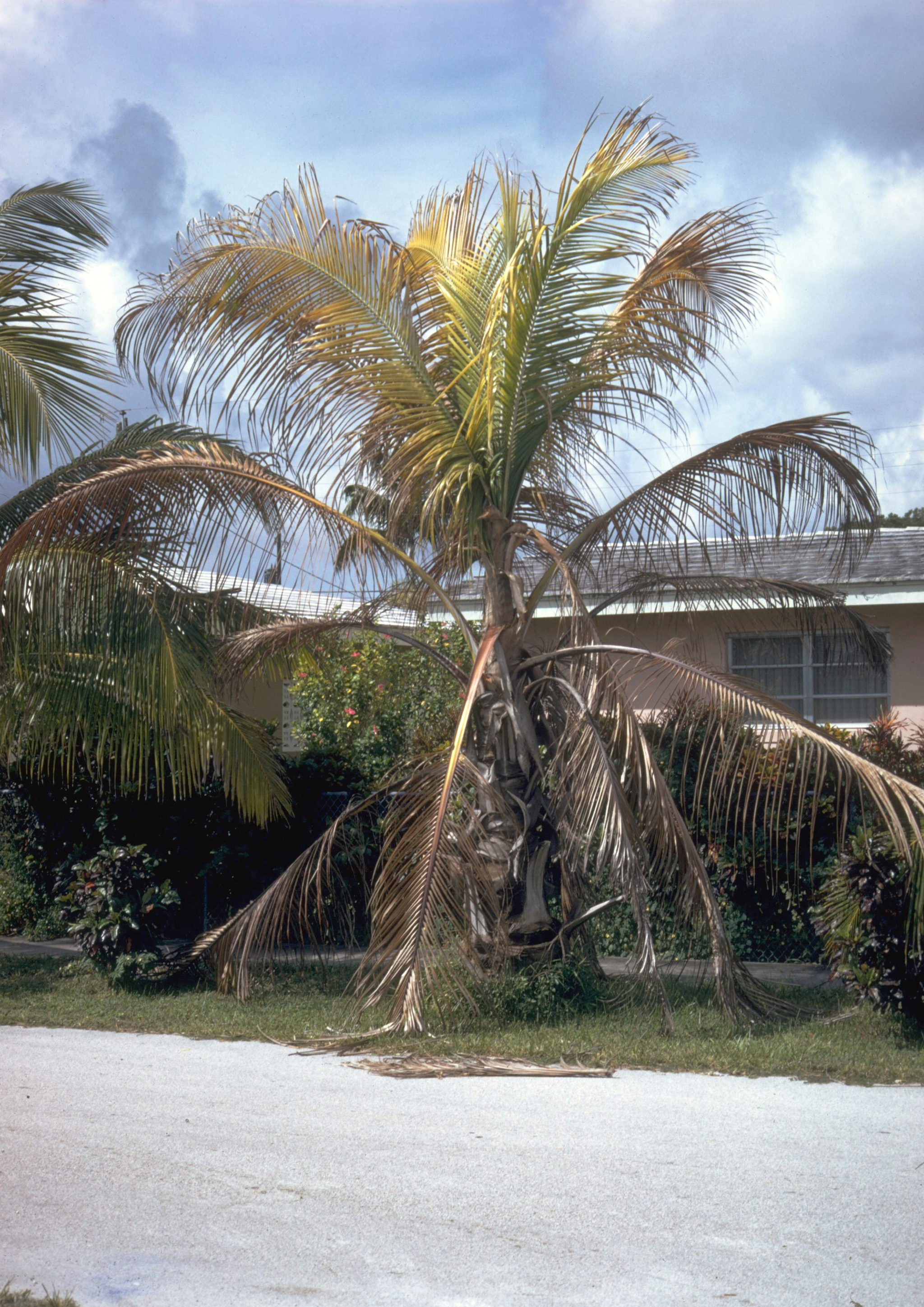 List Of Coconut Palm Diseases Wikiwand
