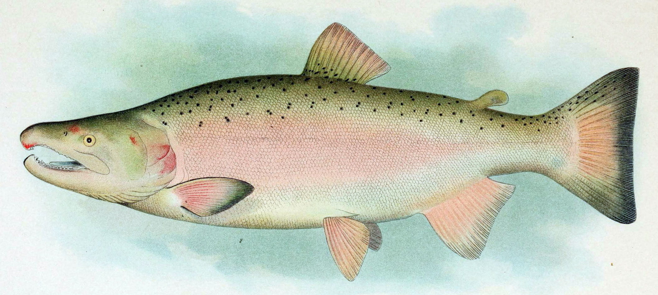 Coho salmon - Wikiwand