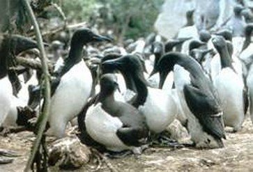 Common Murres nesting on Duck Island.jpg