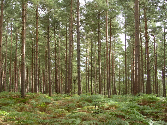 File:Conifer plantation, Roydon Woods, New Forest - geograph.org.uk ...