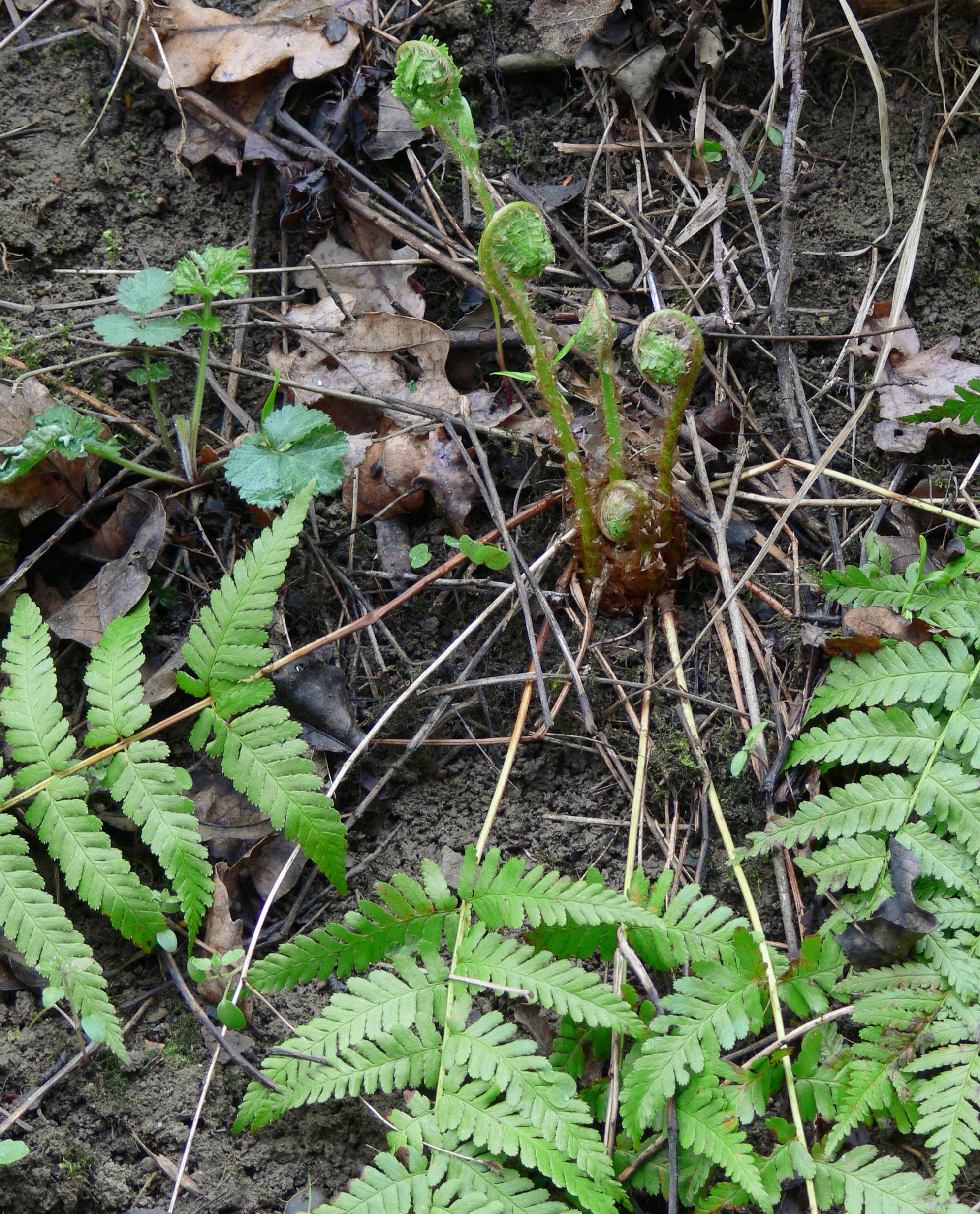 Papraď samčia - detail perovito stočených listov