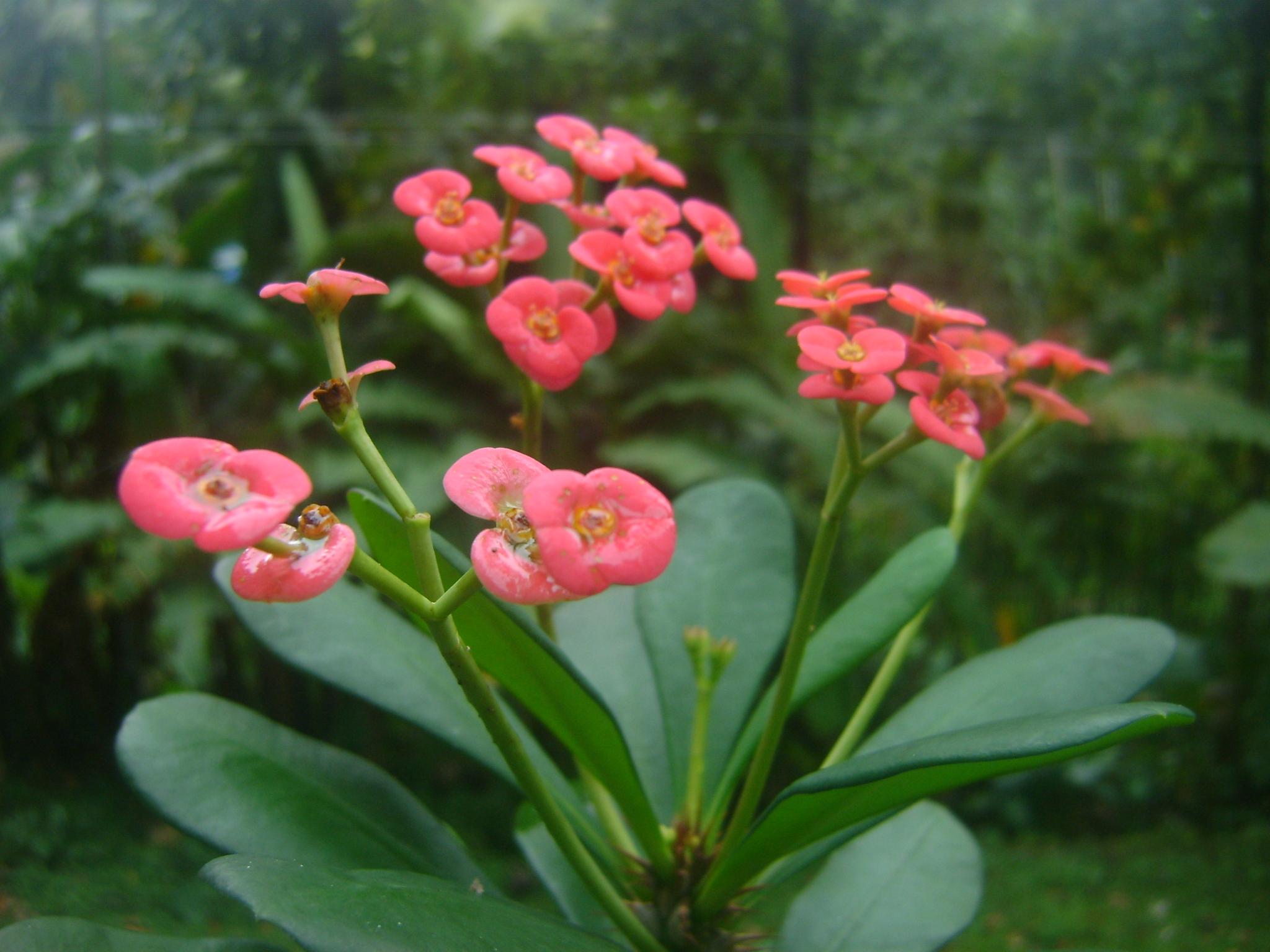 Fileeuphorbia Flowers From Kerala Gardeng Wikimedia Commons