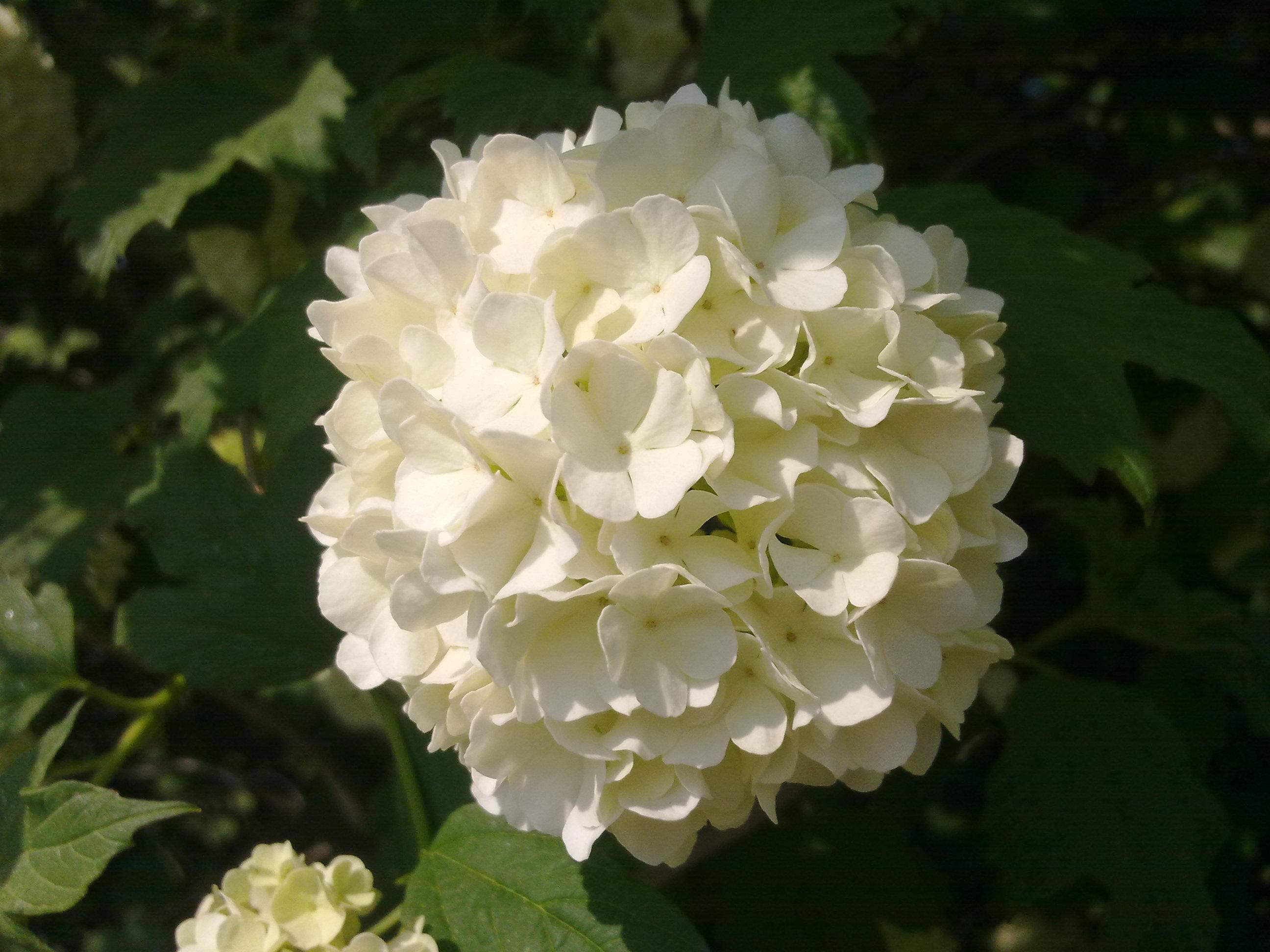 File Fleur De Boule De Neige A Grez Doiceau 001 Jpg Wikimedia Commons