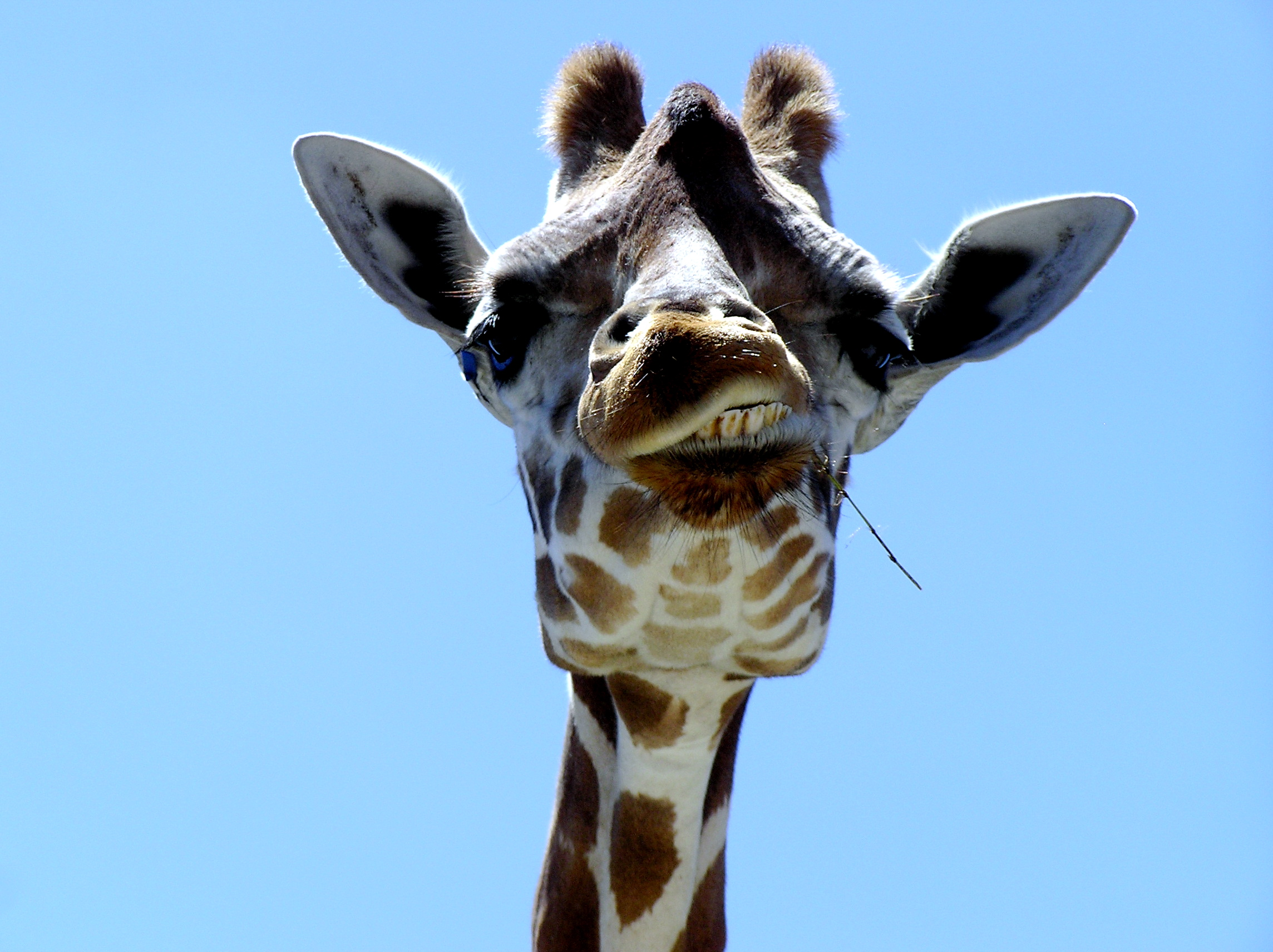 Giraffe head close up - photo#3