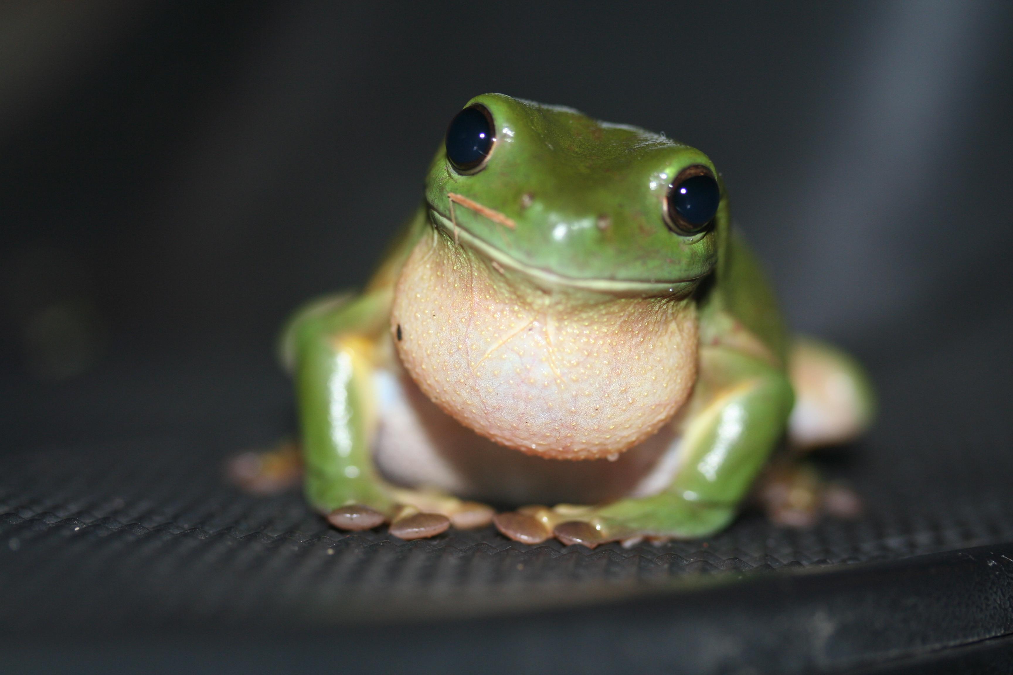 animal tree frogs