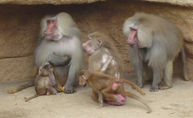 Distinct sexual size dimorphism can be seen between the female and two male Hamadryas baboons.