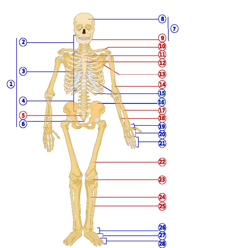 Human skeleton front numbered.png