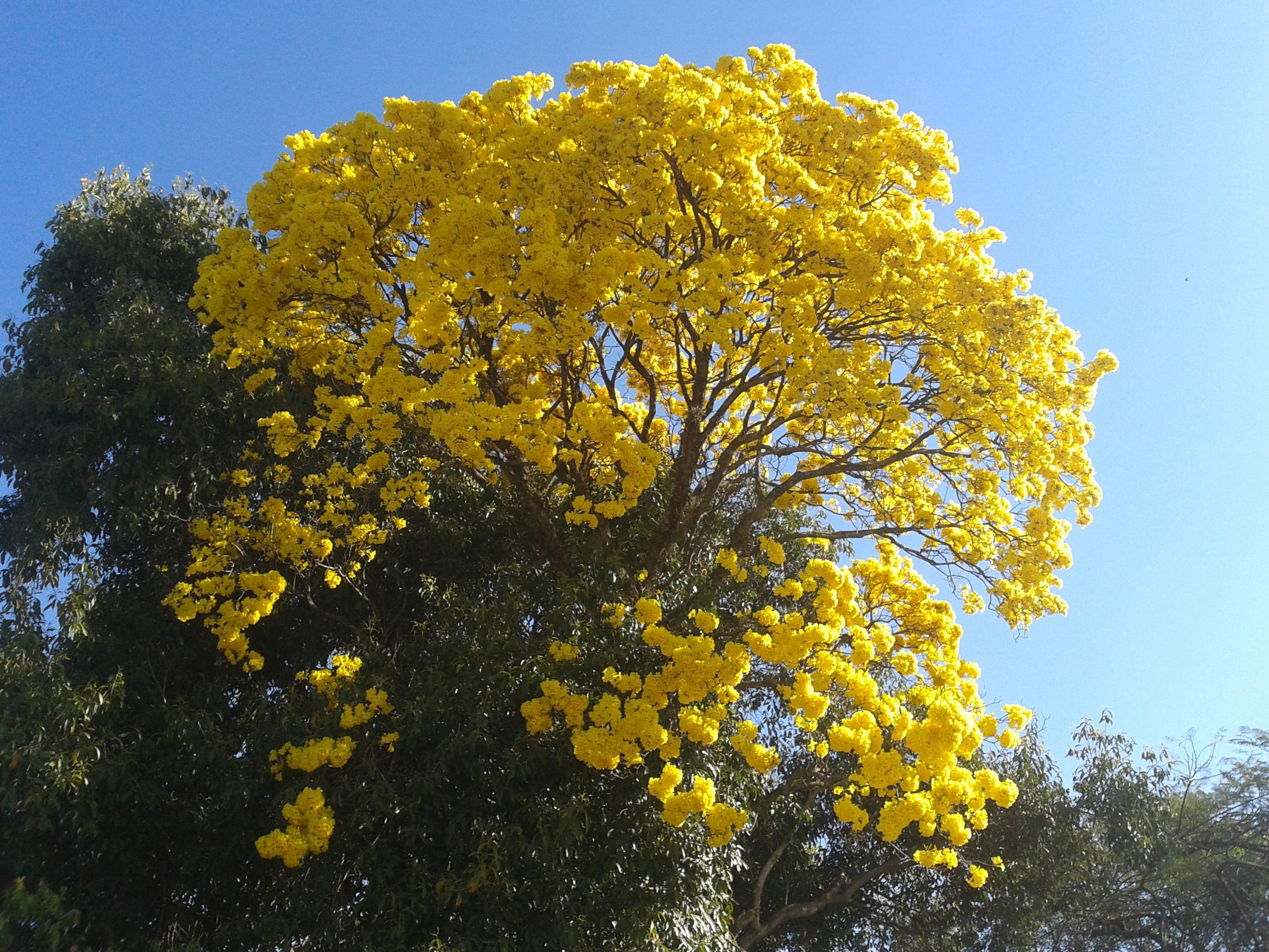 tabebua en fleurs jaunes