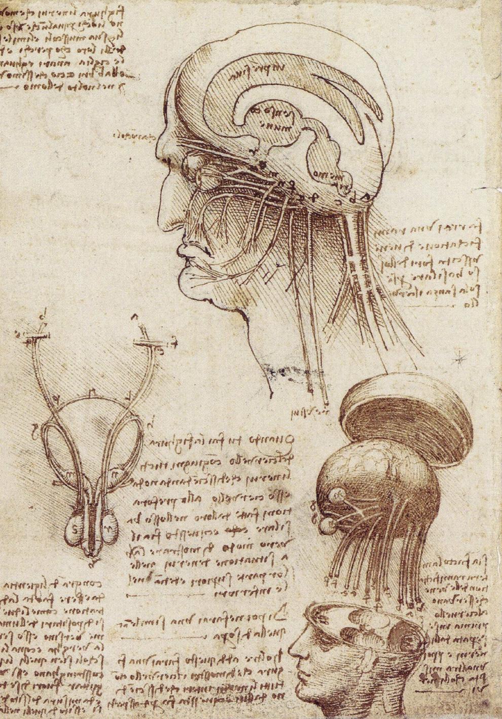Файл:мозг Леонардо да Винчи Physiology.jpg