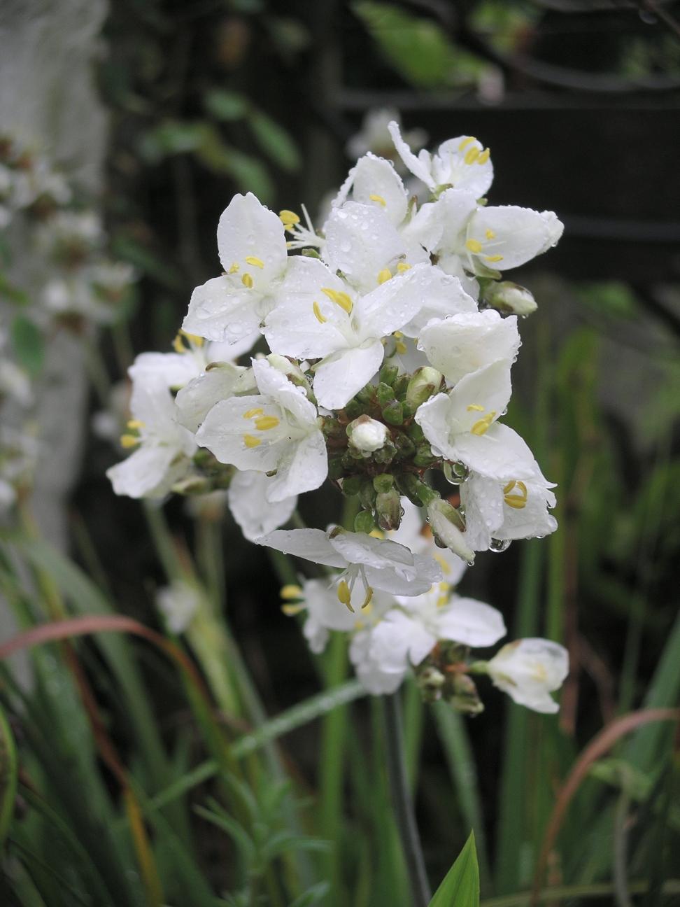Libertia Grandiflora Wikipedia