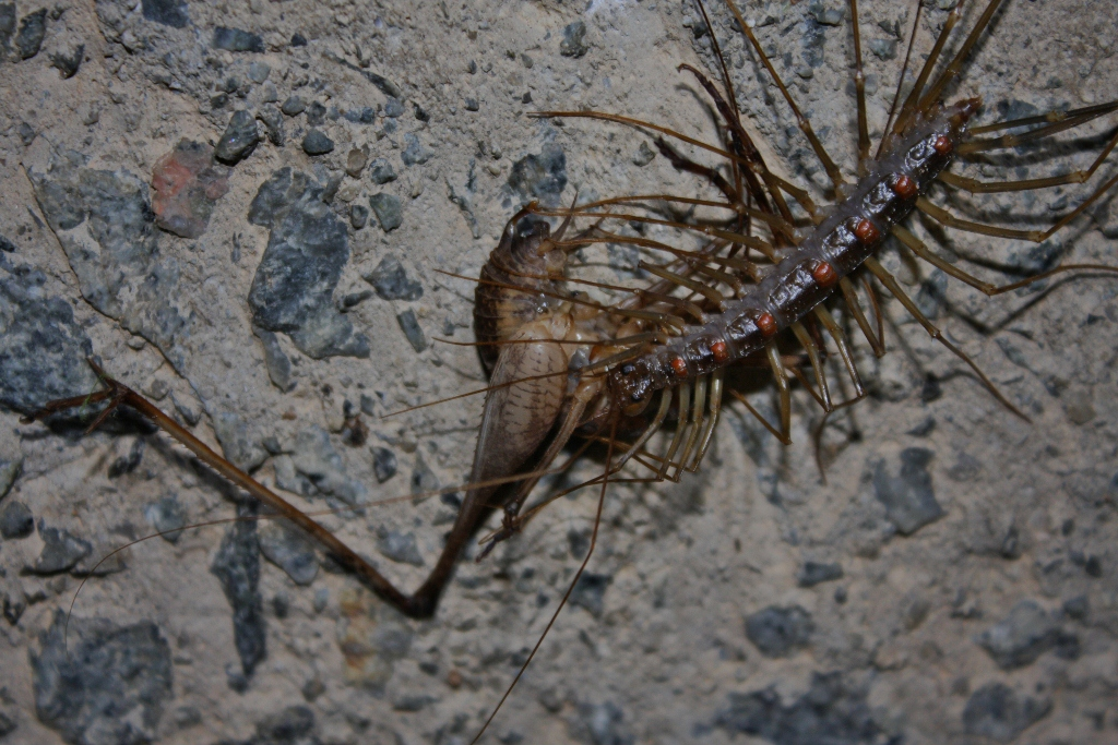 Long-legged Centipede (Thereuopoda clunifera) (6747989937).jpg