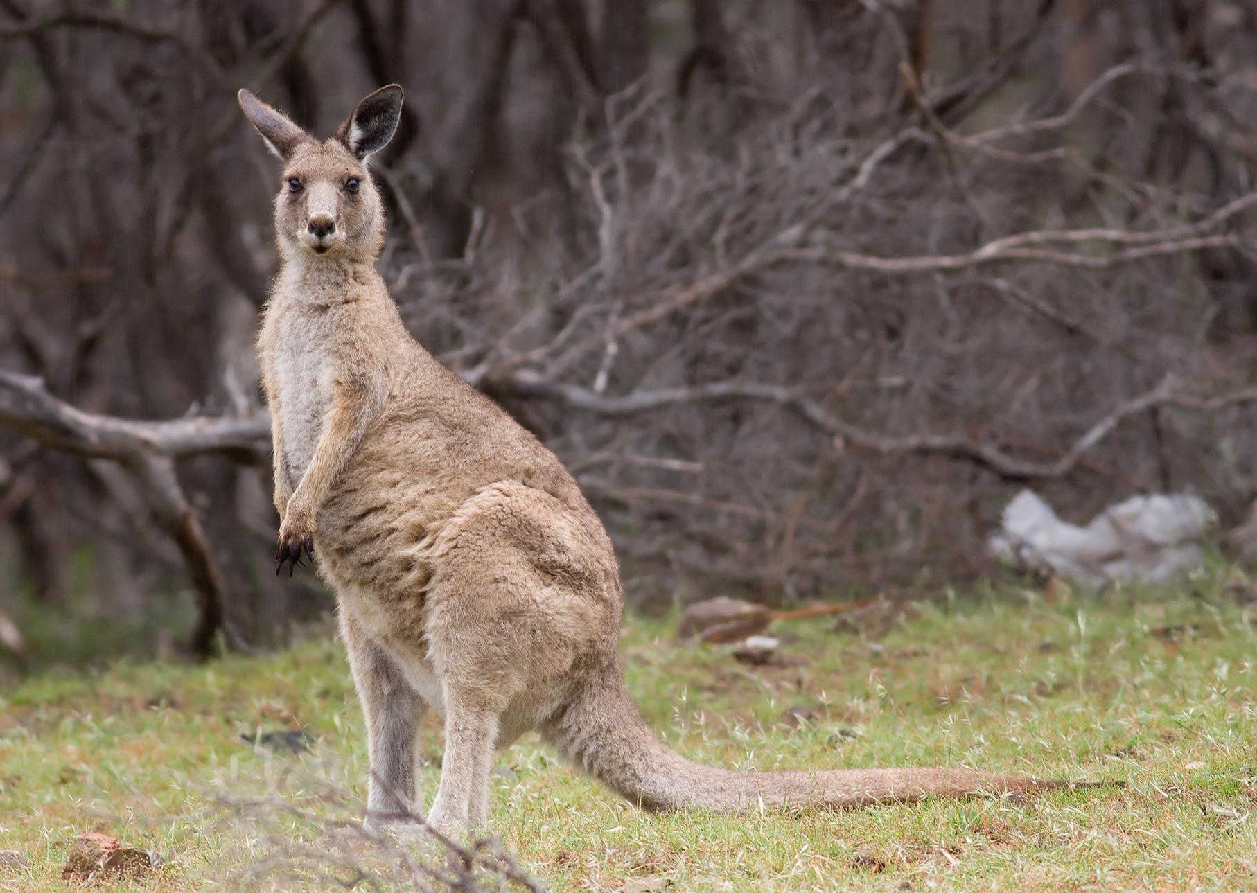 Forester Kangaroos Maria Island