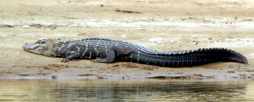 reptiles del amazonas: lagarto negro