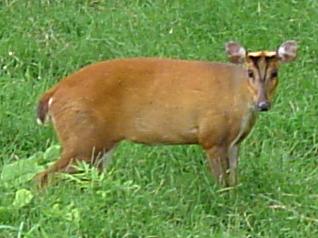Muntjac Deer (wikipedia)