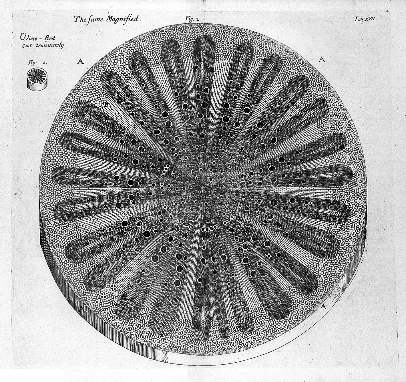 Filen Grew Cross Section Of Vine Roots The Anatomy Of Plants