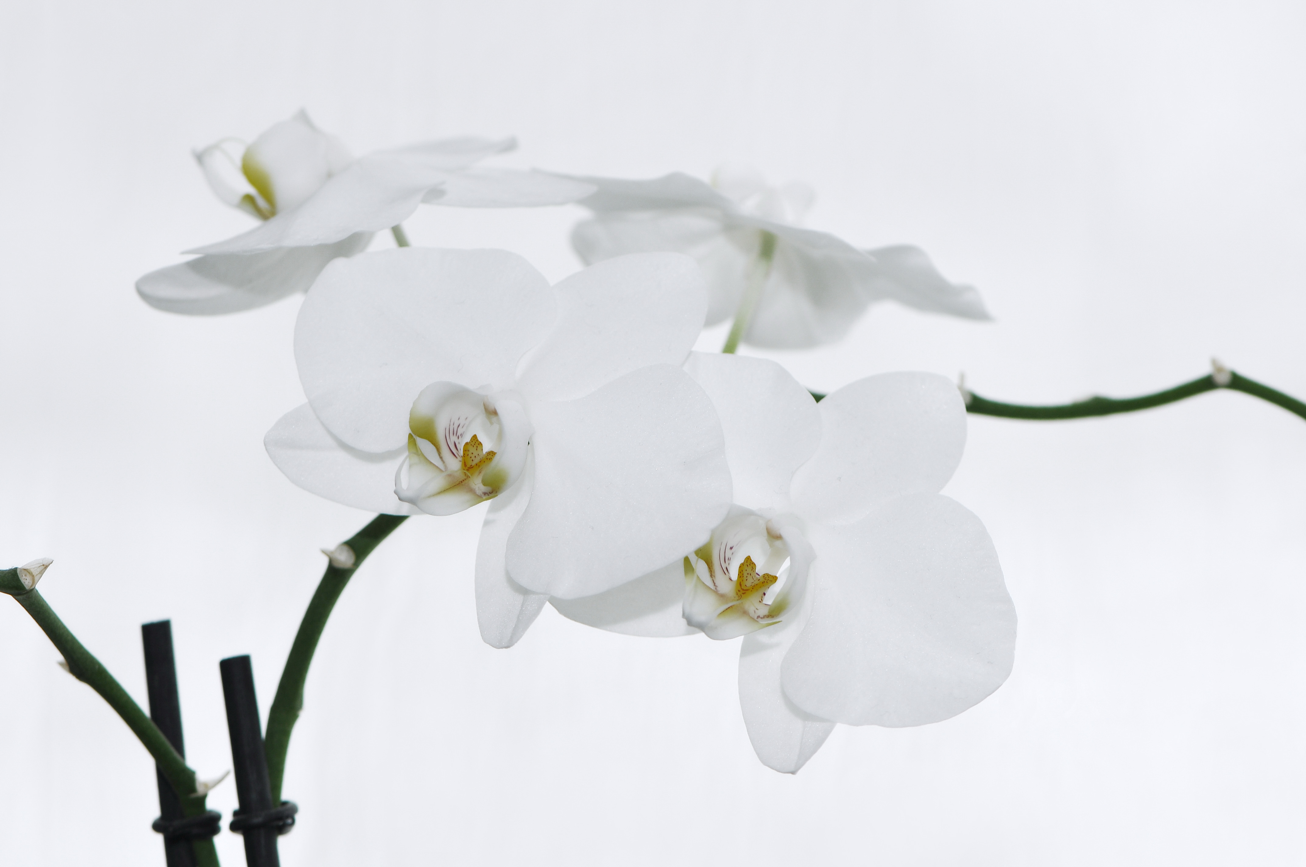 File:Nachtfalter Orchidee, Phalaenopsis 11.JPG - Wikimedia Commons