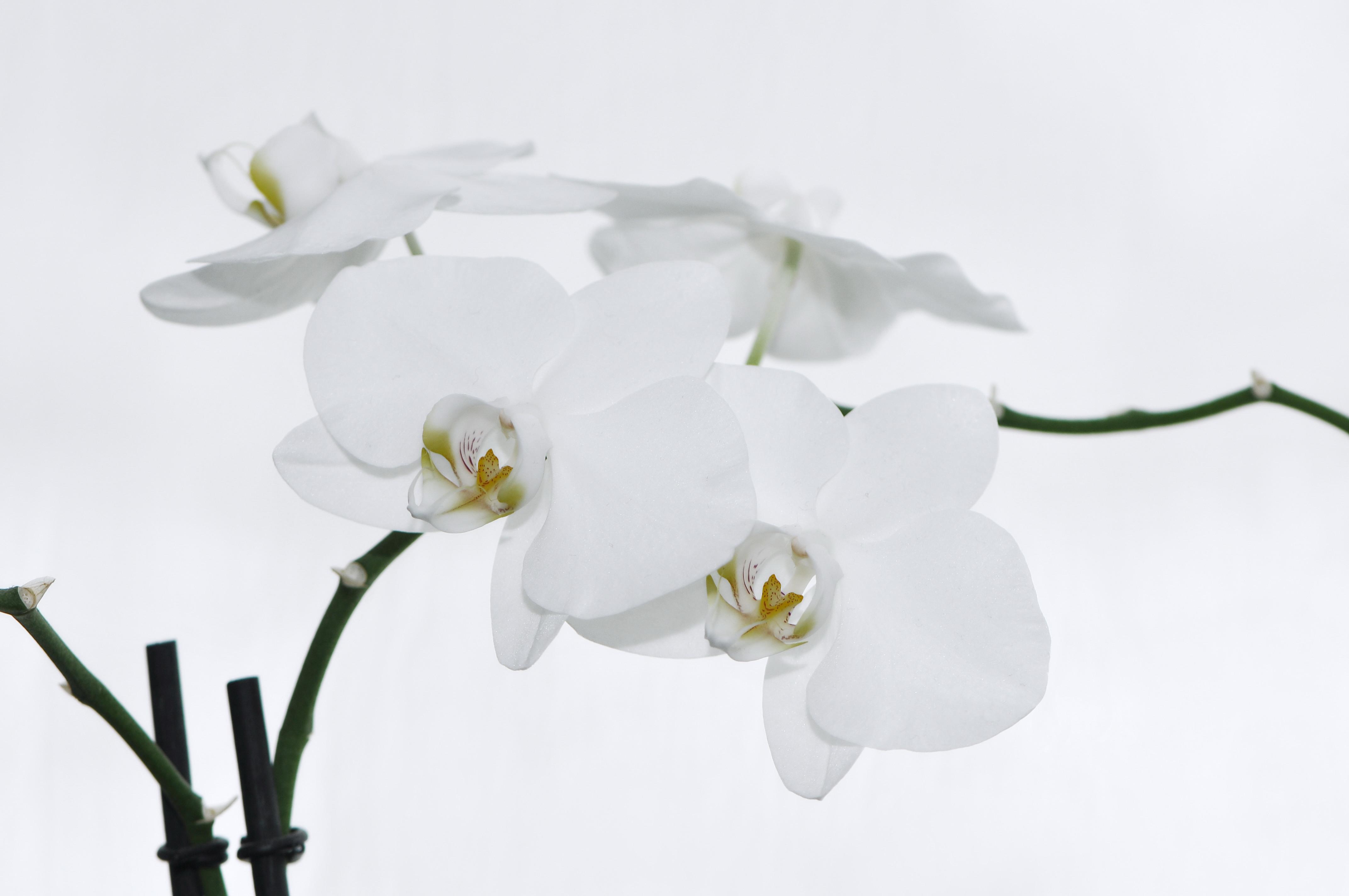file nachtfalter orchidee phalaenopsis 11 jpg. Black Bedroom Furniture Sets. Home Design Ideas