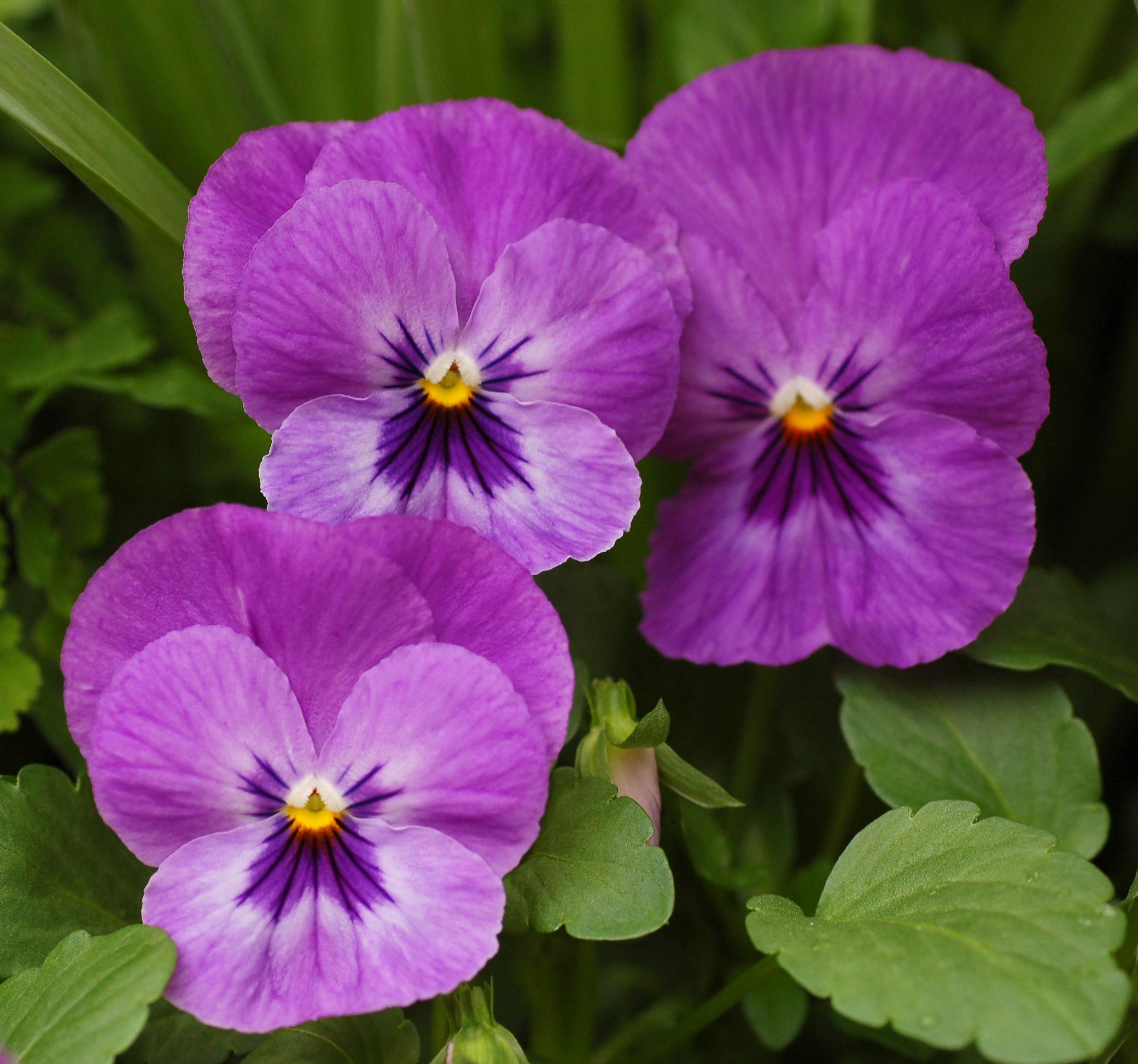 File Pansy Viola x wittrockiana Purple Cultivar Flowers 2081px Wikimedi
