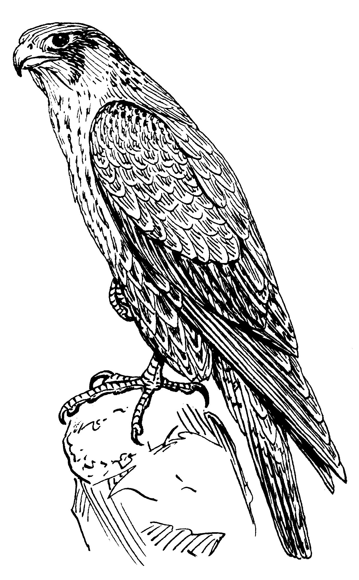 FilePeregrine Falcon PSFpng Wikimedia Commons