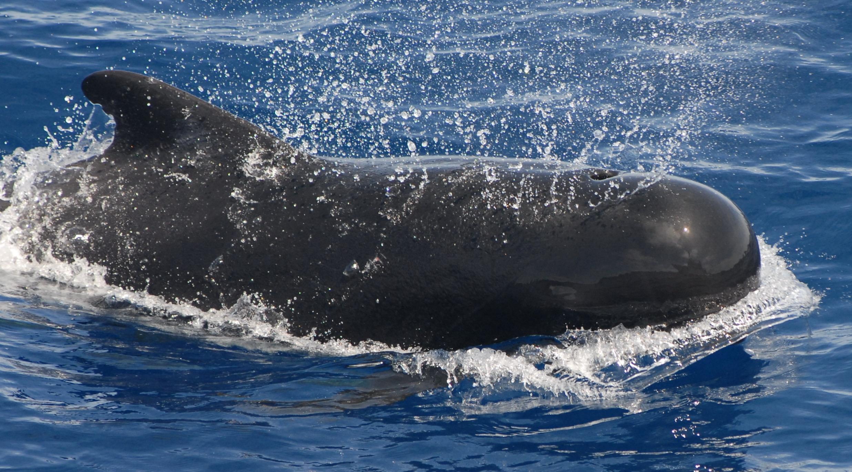 http://upload.wikimedia.org/wikipedia/commons/e/e2/Pilot_whale.jpg