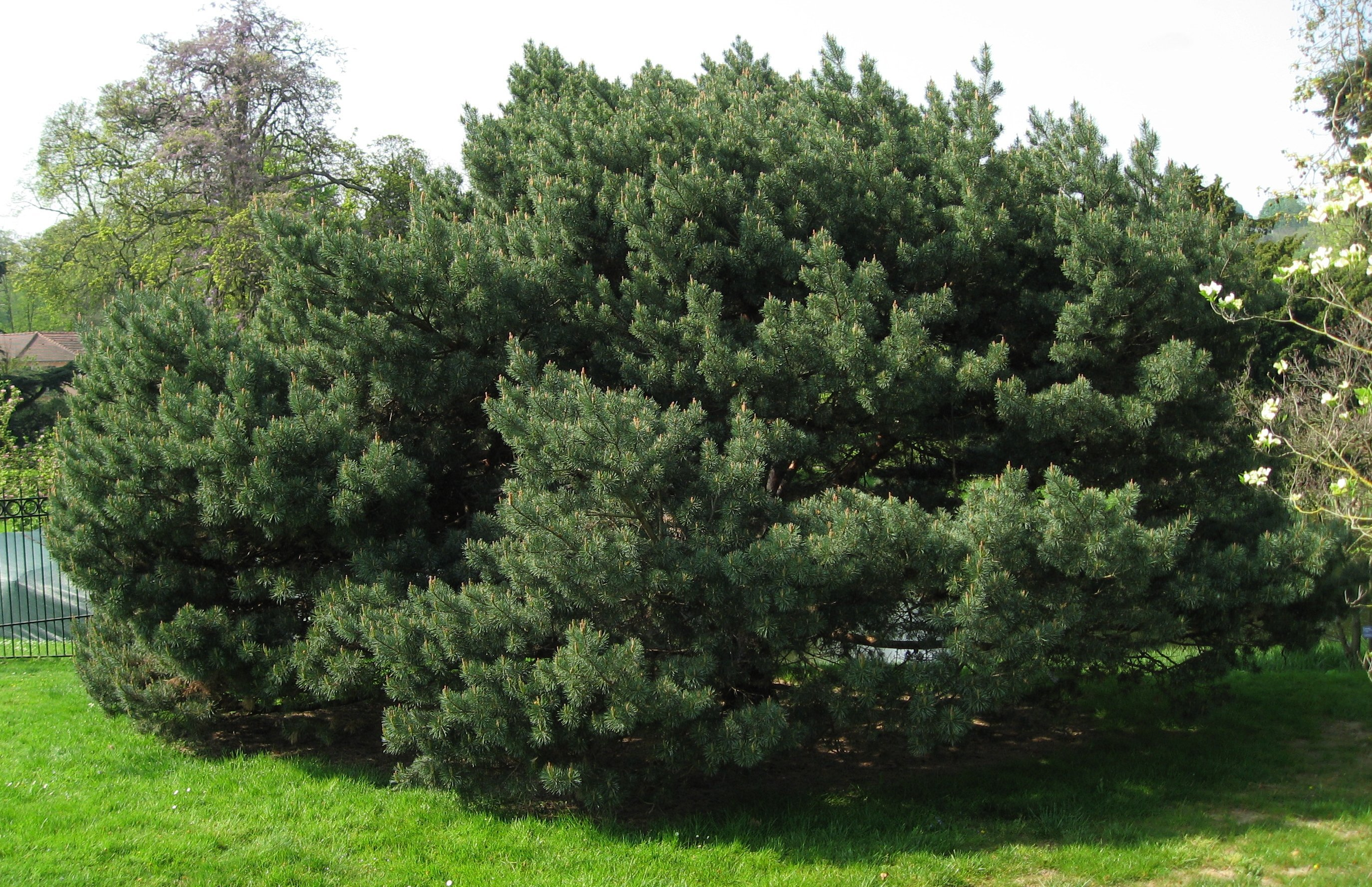 file pinus sylvestris 39 watereri 39 by wikimedia commons. Black Bedroom Furniture Sets. Home Design Ideas