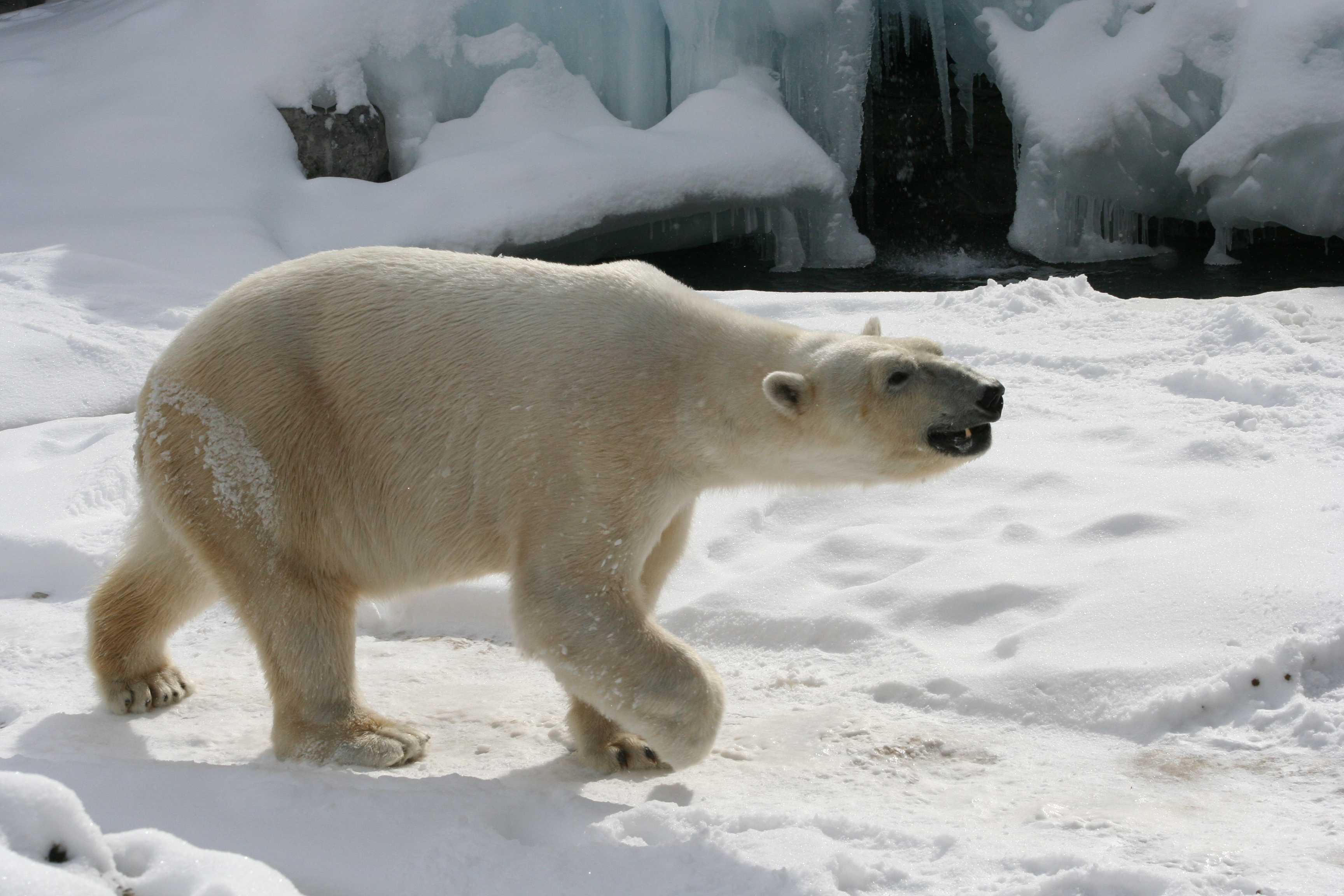 File:Polar Bear - Buff...