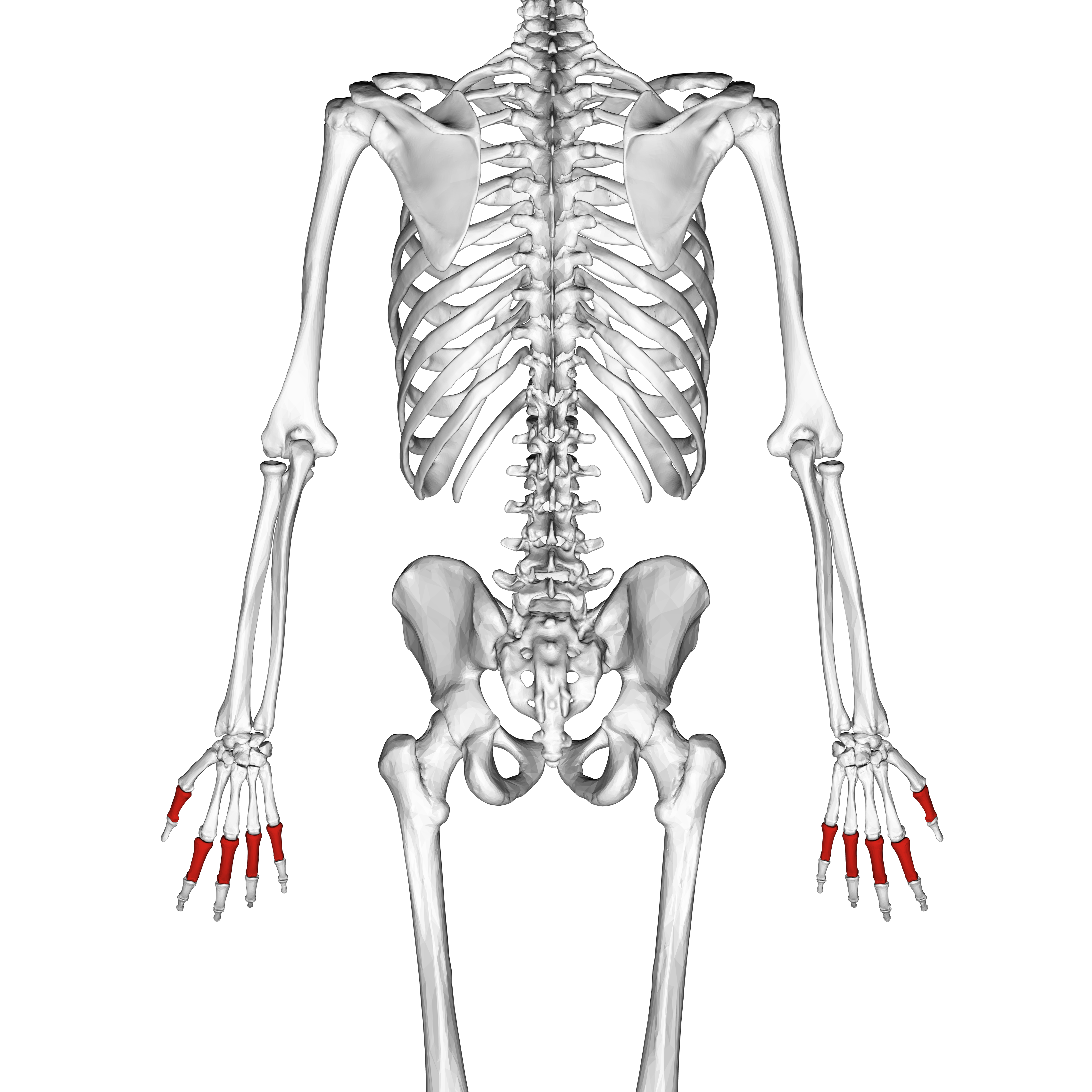 Fileproximal Phalanges Of The Hand 02 Dorsal Viewg Wikimedia