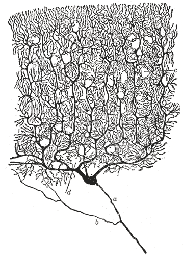 Purkinje cell by Cajal.png