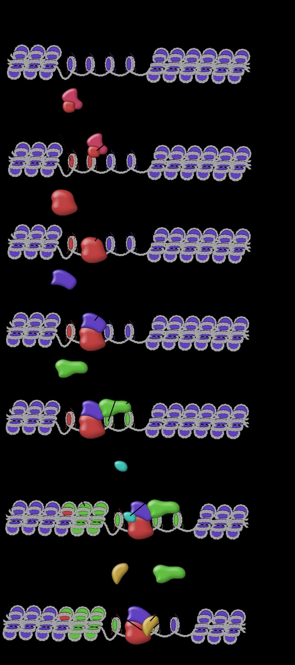 Chromatid Structure