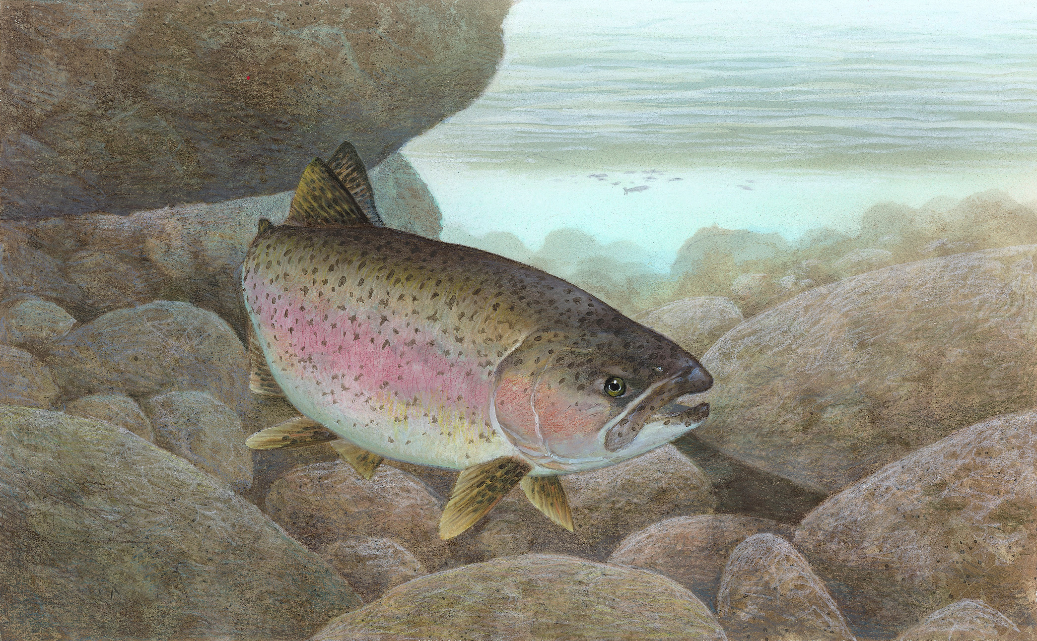 What does a rainbow trout fish eat