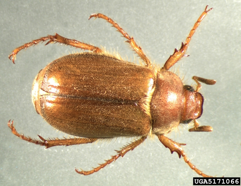 European Chafer Wikipedia