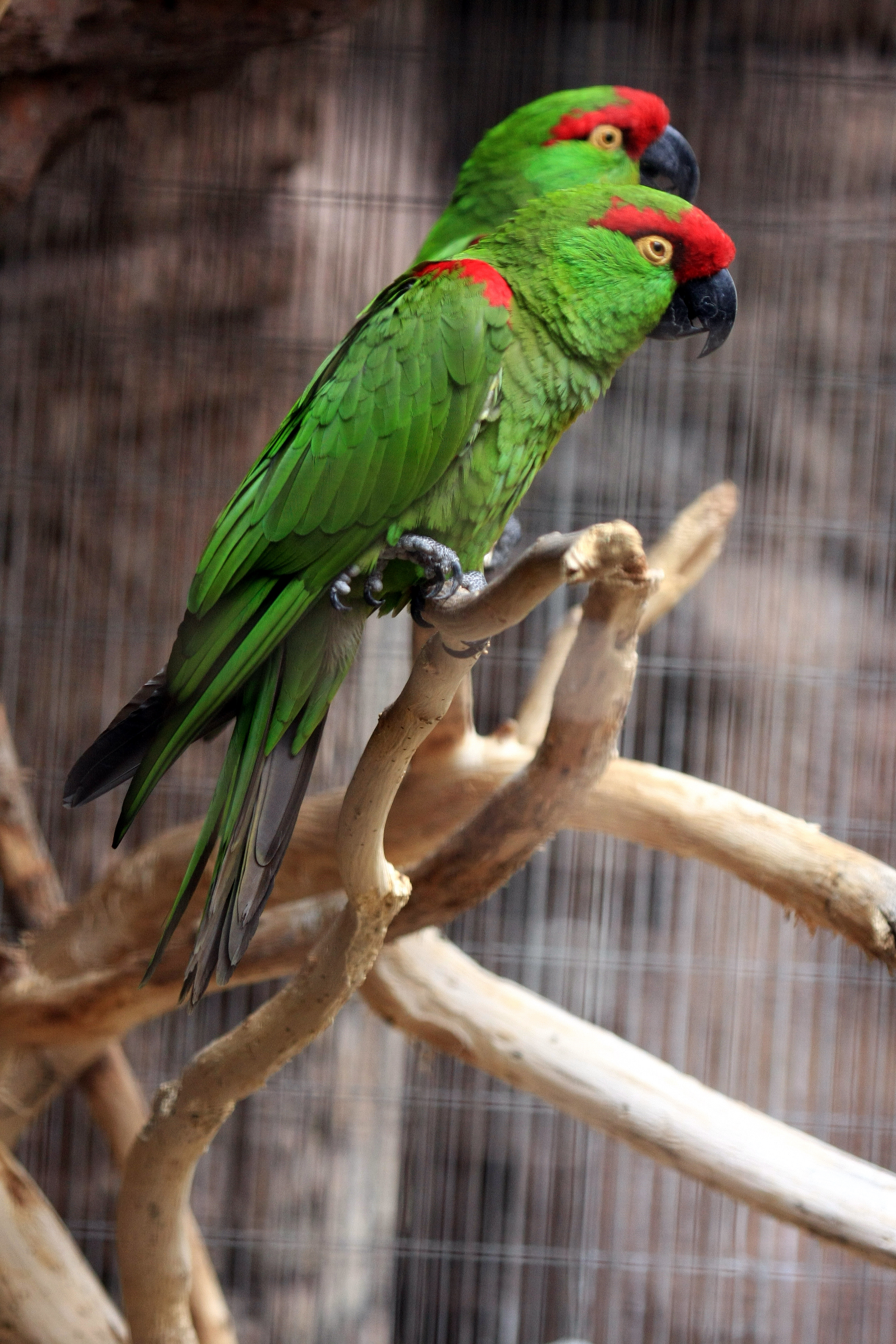 Thick Billed Parrot Wikipedia