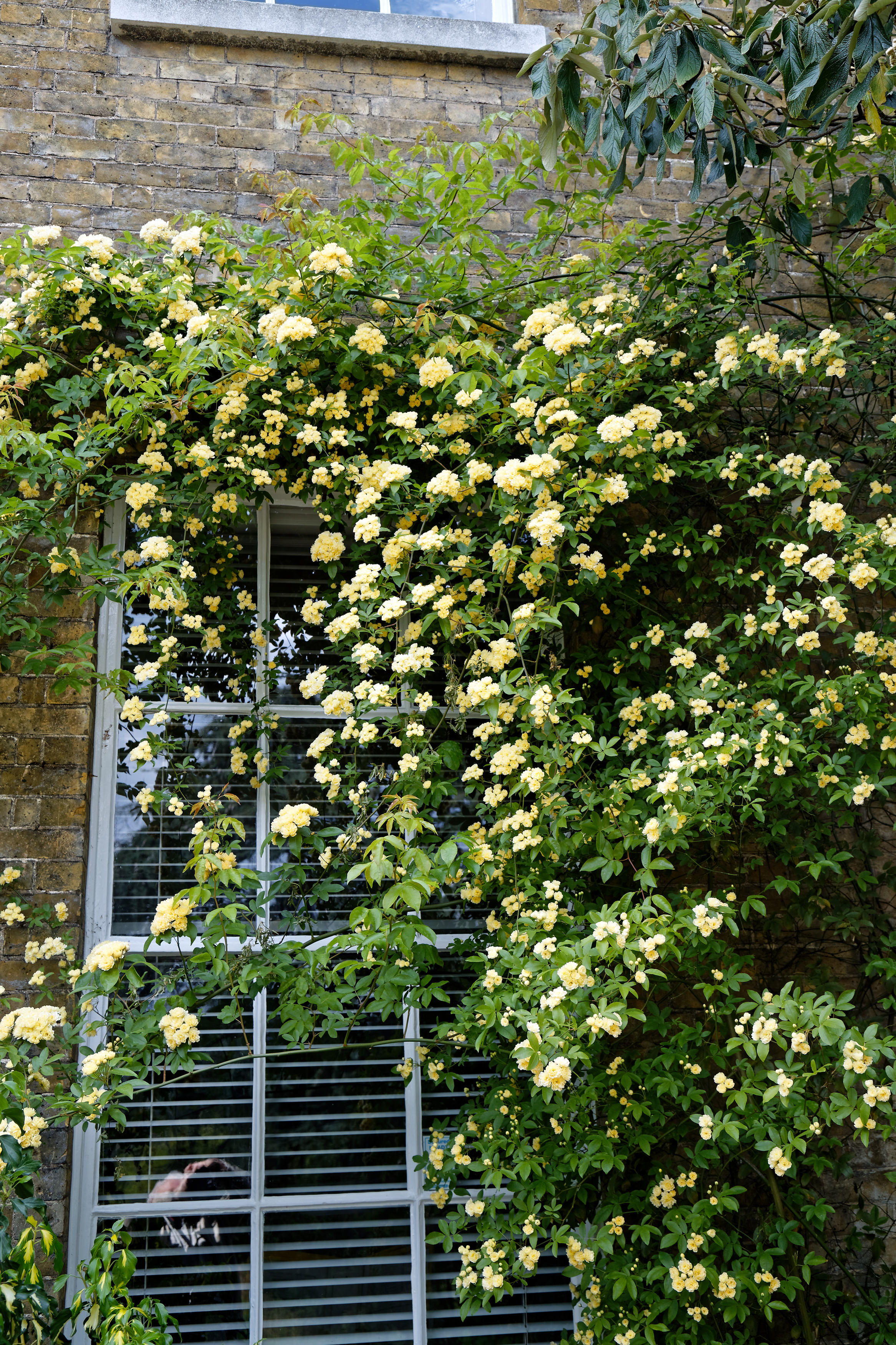 File:Rosa banksiae \'Lutea\', Lady Banks\' rose at Myddelton House ...