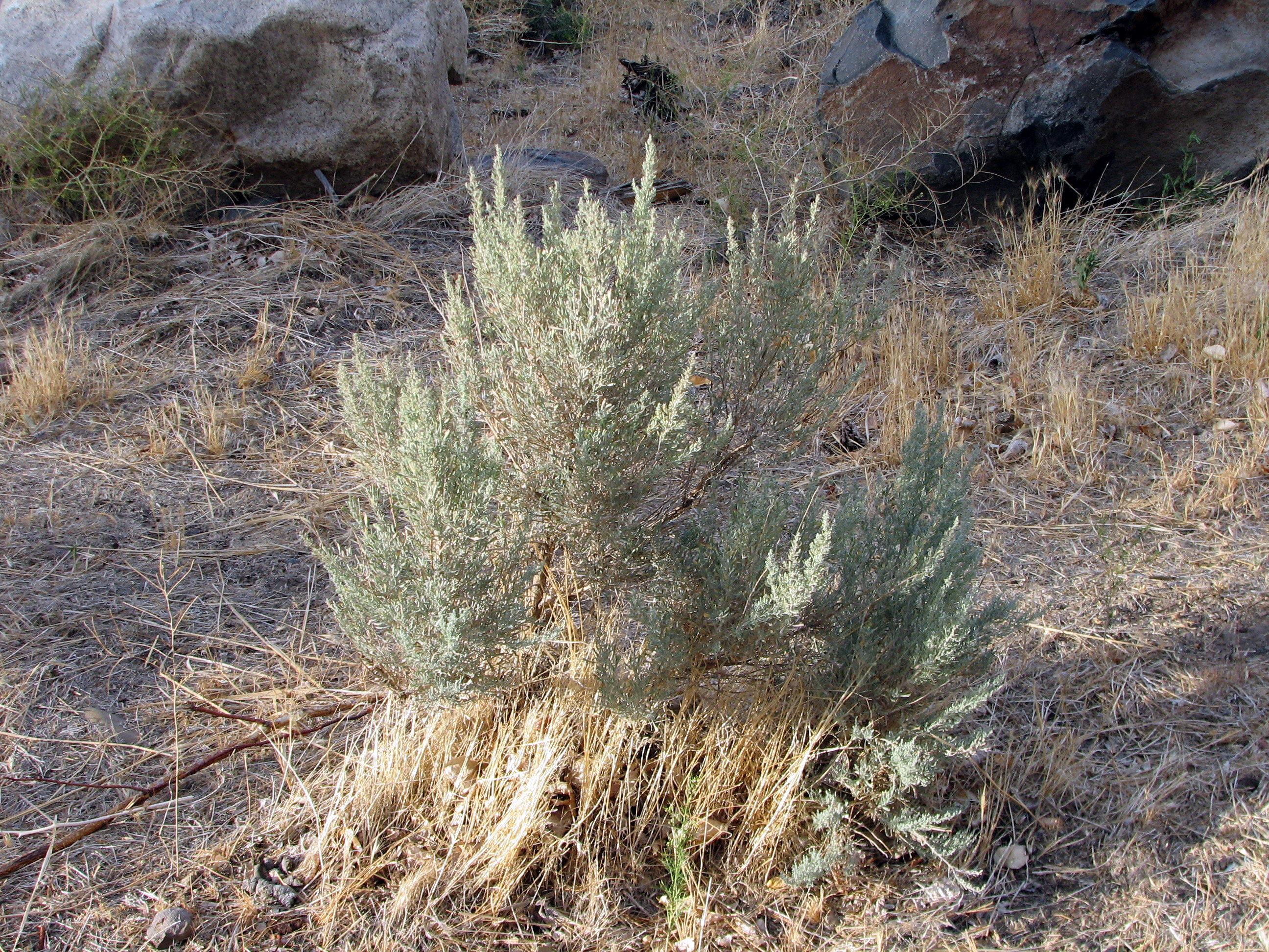 Description Sagebrush in bloom.jpg