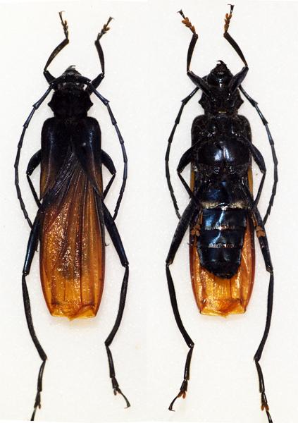 Scalenus hemipterus - Wikipedia