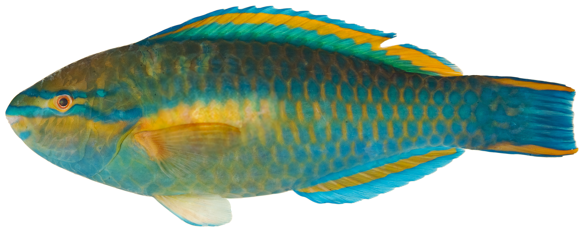 File:Scarus_taeniopterus_ _pone.0010676.g130 on Realistic Tropical Fish Clip Art