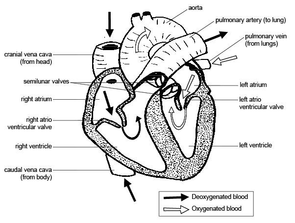Anatomy and physiology of animalscardiovascular systemthe heart diagram 88 the internal structure and blood flow through the heart ccuart Images