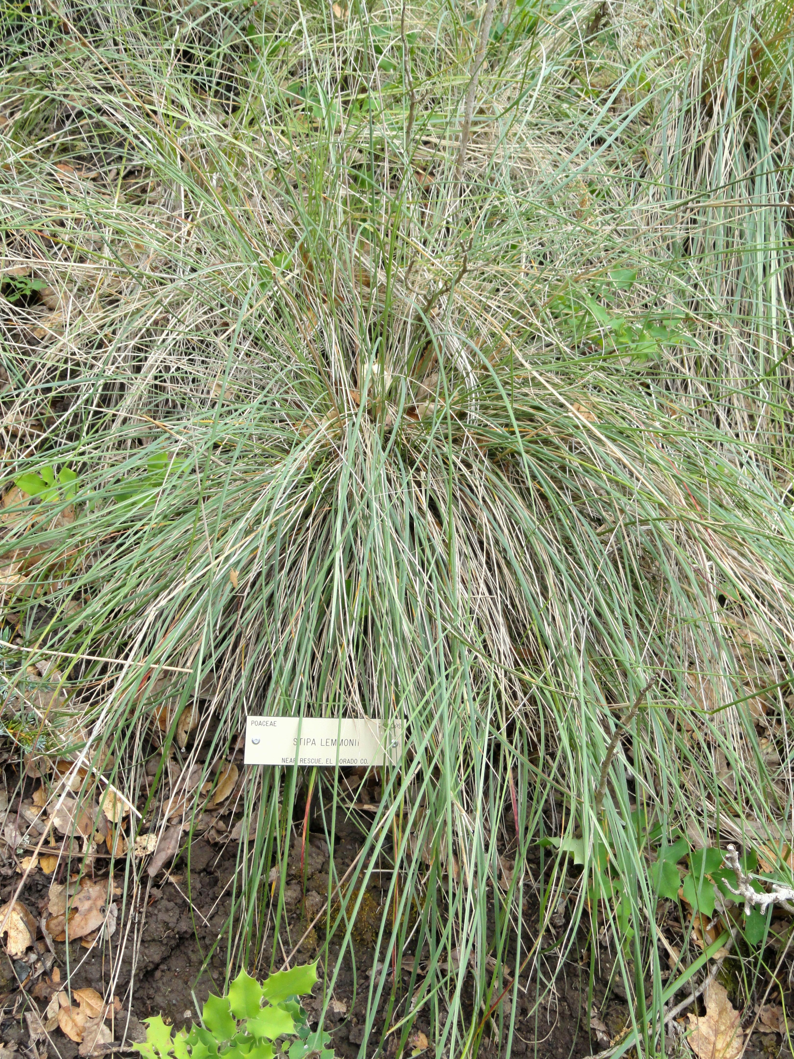 File:Stipa Lemmonii   University Of California Botanical Garden    DSC09020.JPG